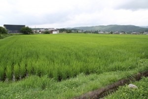 2ヶ月でこんなに稲が育ちました