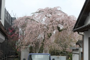 浄光寺 枝垂れ桜(満開)