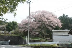 富田打杭 阿弥陀堂の桜