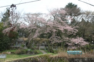 乗政寺山 大名桜